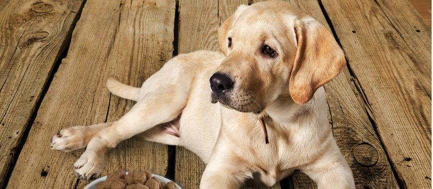 6 שלבים ראשונים לאילוף גורי כלבים
